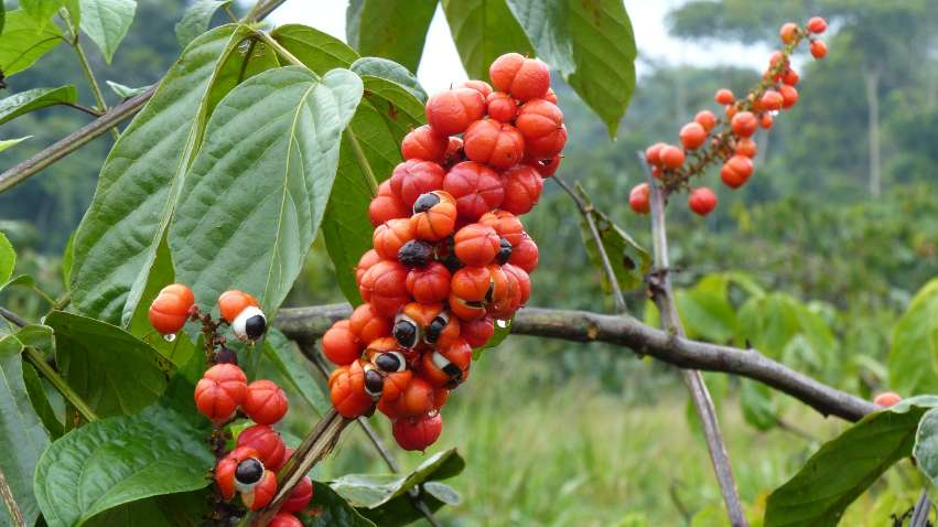 Guarana ingredient